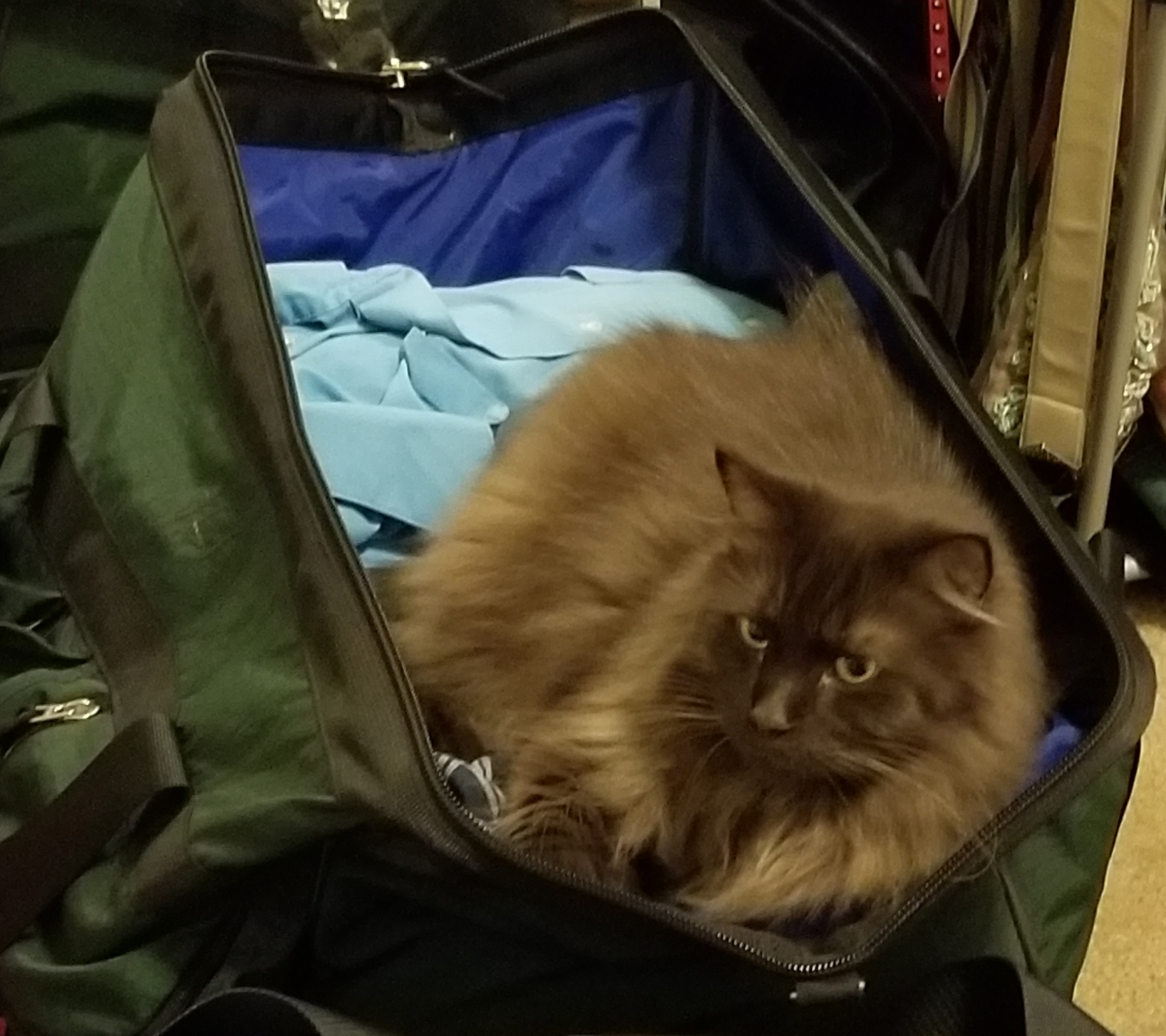 A Large Brown Fluffy Cat phoning in an attempt to be smuggled in luggage.