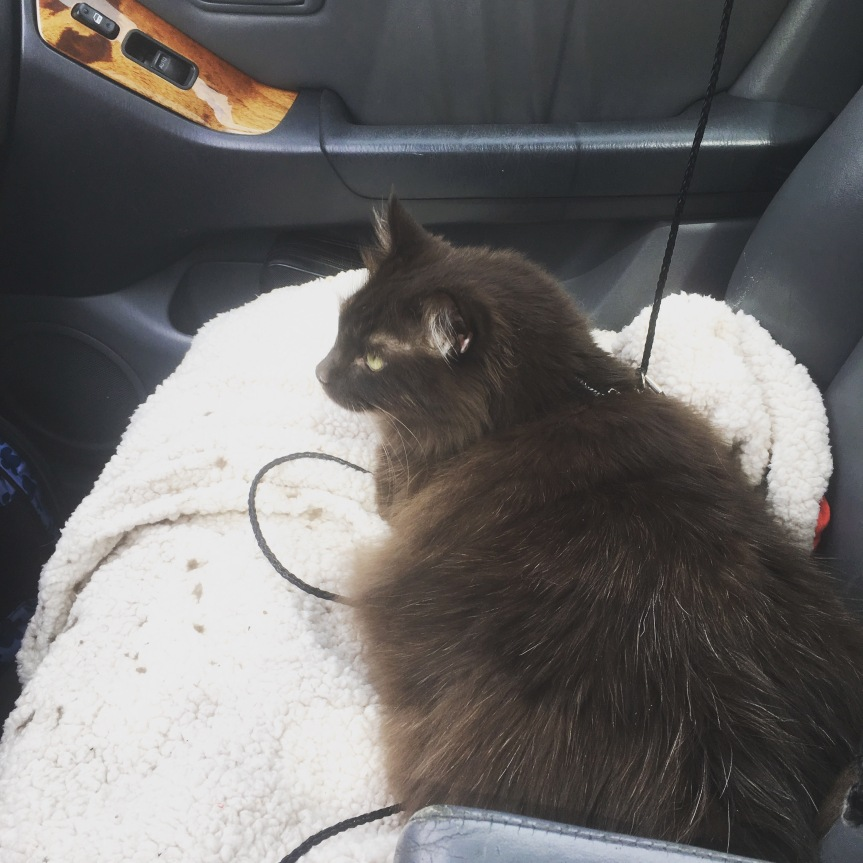 A large, brown fluffy cat riding shotgun in a car