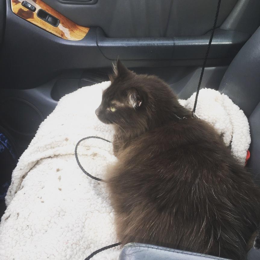 A large, brown fluffy cat riding shotgun in a car