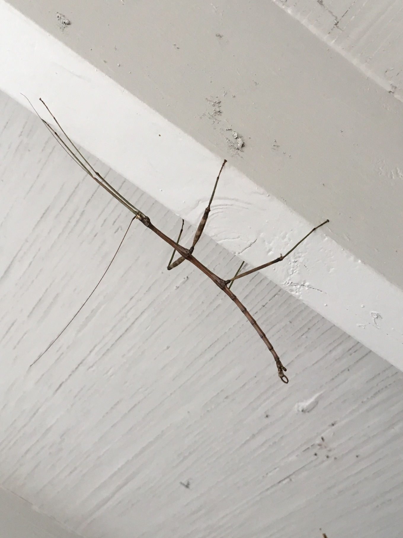 A Stick Bug climbing a wall at Cooper Lake State Park in Texas