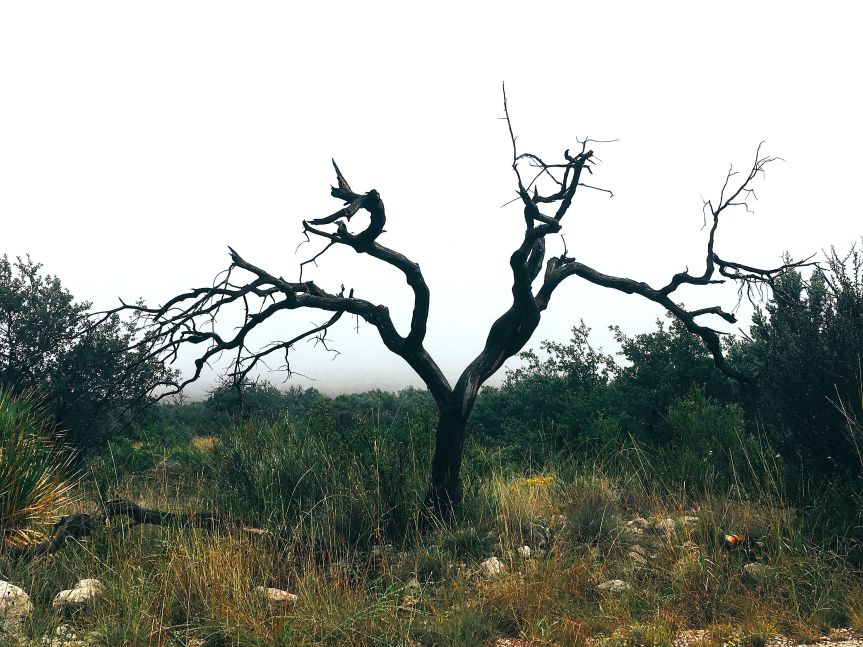 A bare juniper tree in a fog-covered portion of Guadalupe Mountains National Park