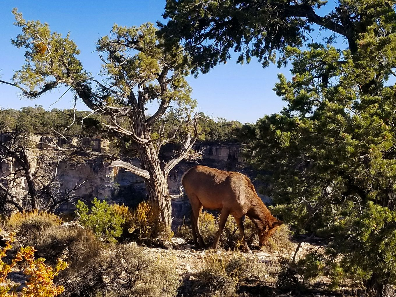 Elk Grazing, Grand Canyon National Park - South Rim