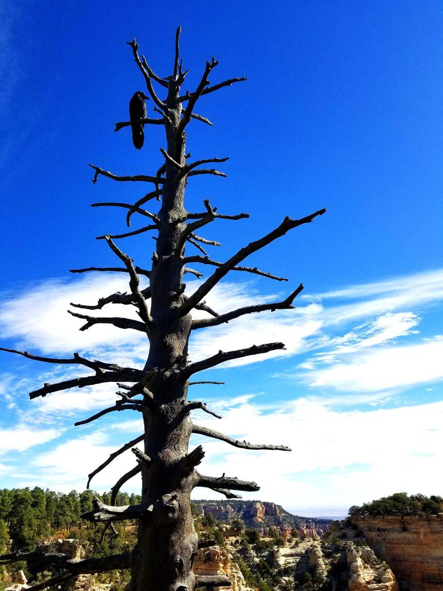 Raven at Walhalla Point, Grand Canyon National Park North Rim