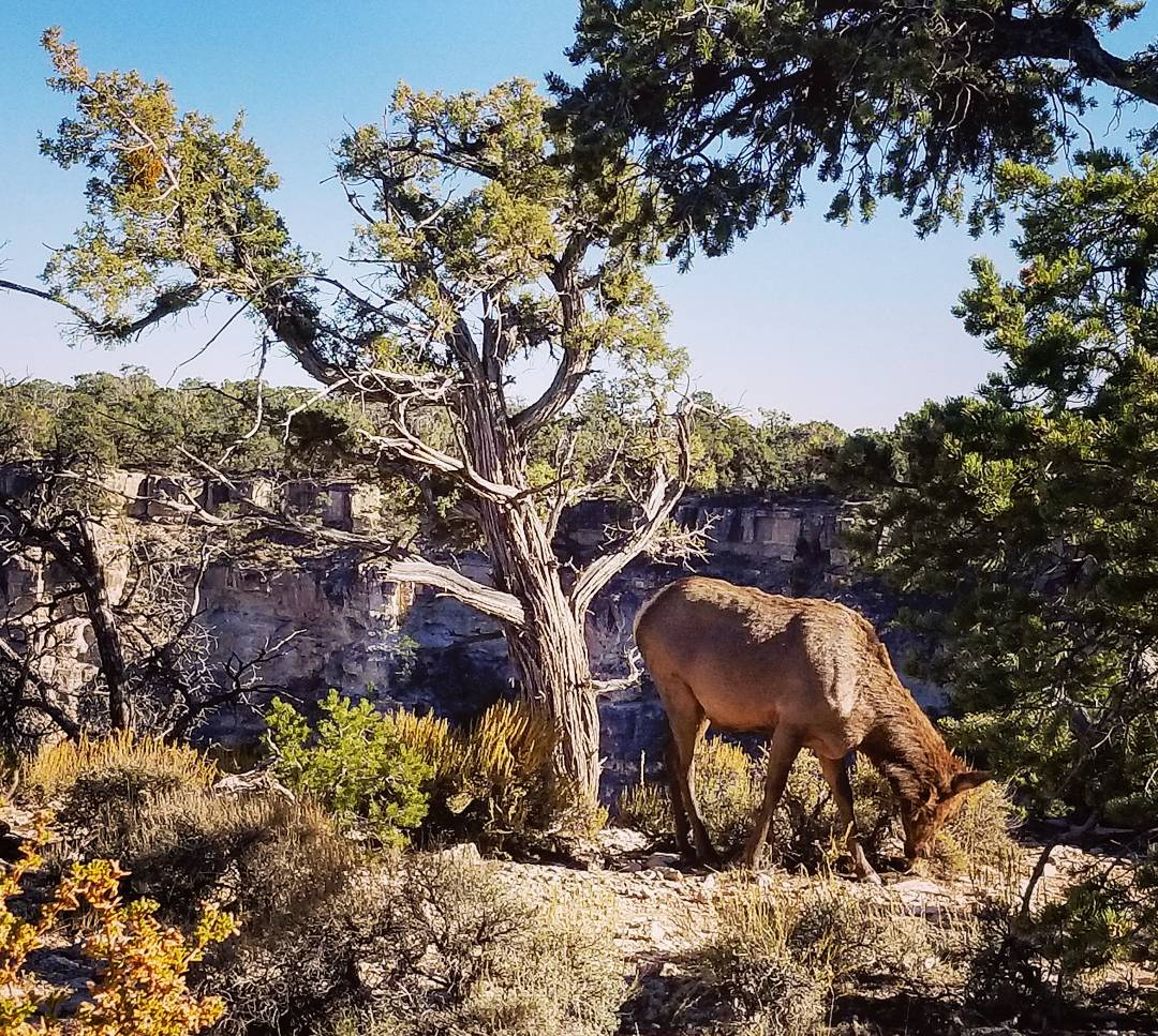 Elk at Grand Canyon National Park, South Rim