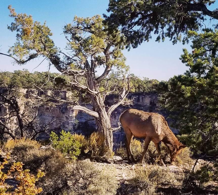 Elk at Grand Canyon National Park, South Rim