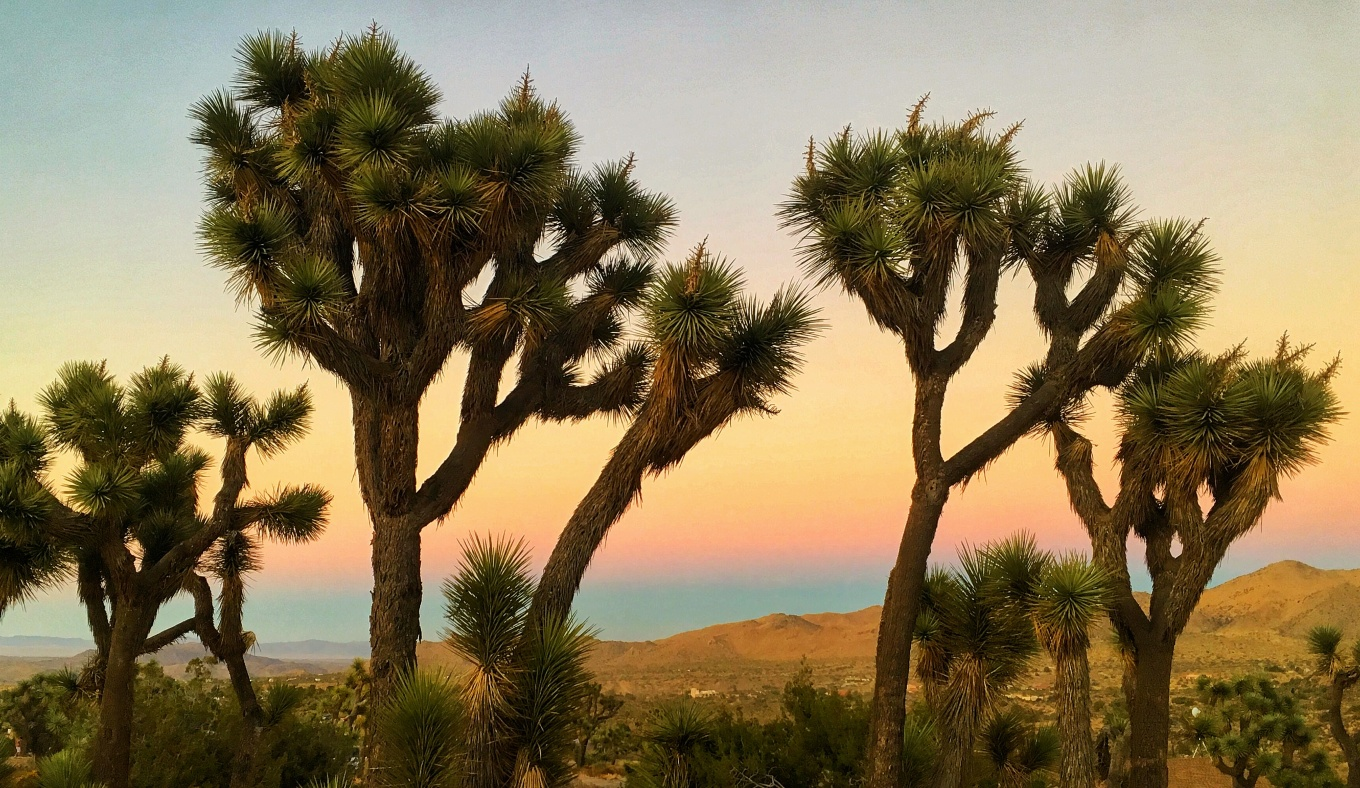 Joshua Trees at Blackrock Campground, Joshua Tree National Park