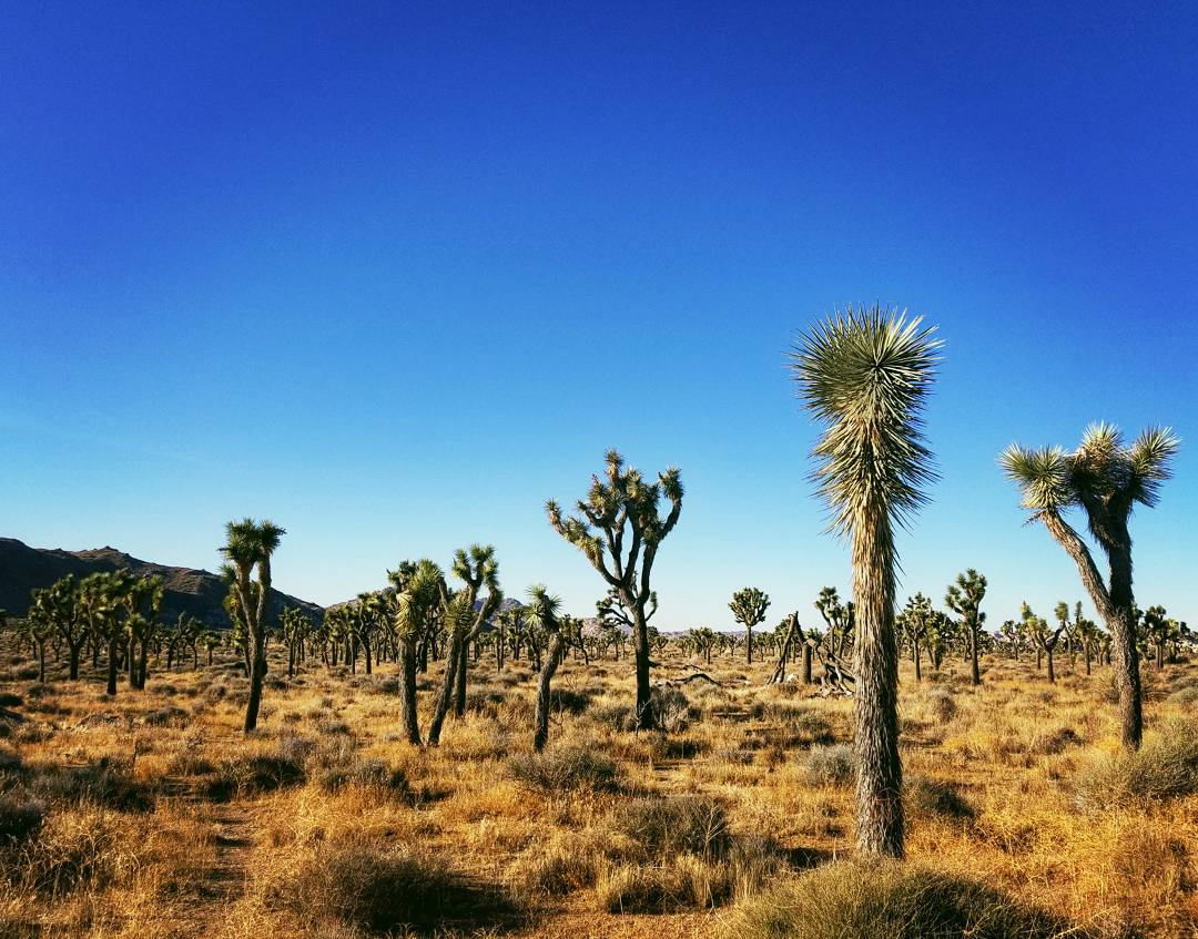 Joshua Trees in California