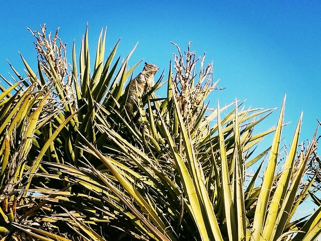 A squirrel in a massive Yucca cluster