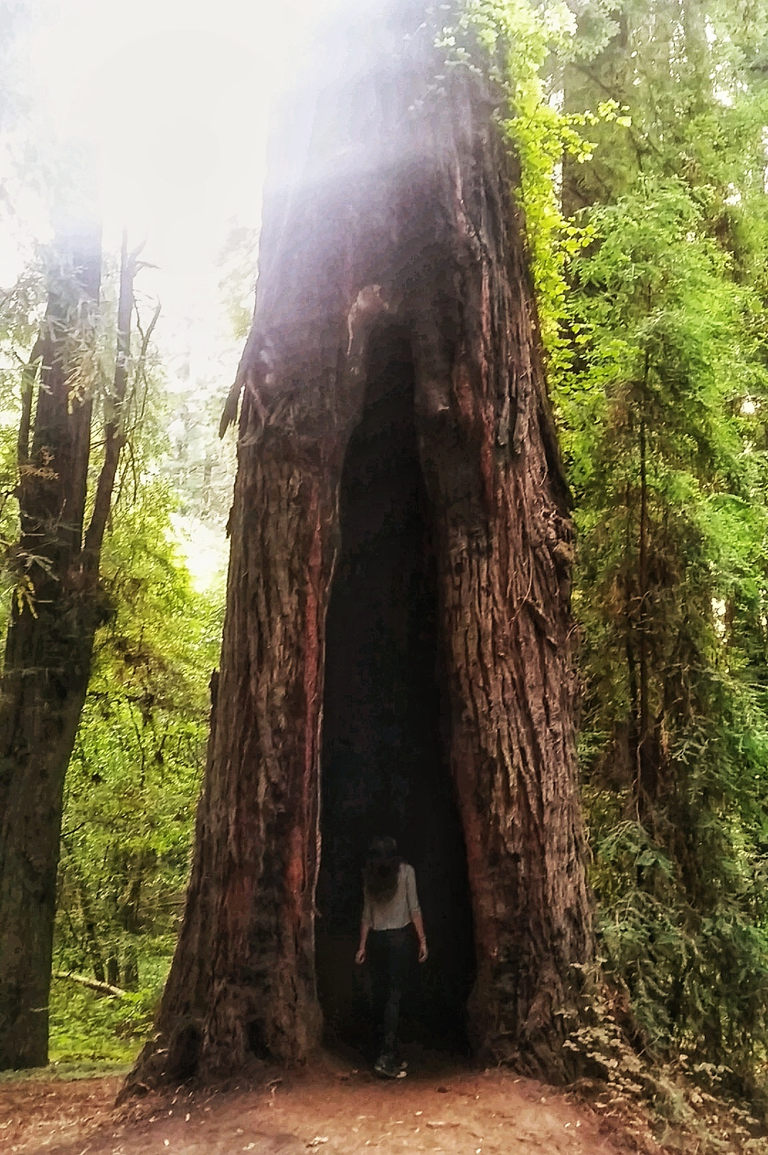 Redwood Tree, Avenue Of The Giants, CA