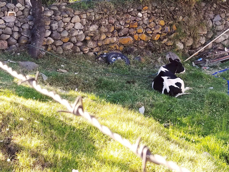 Cow In Yard In El Batán Cuenca, Ecuador