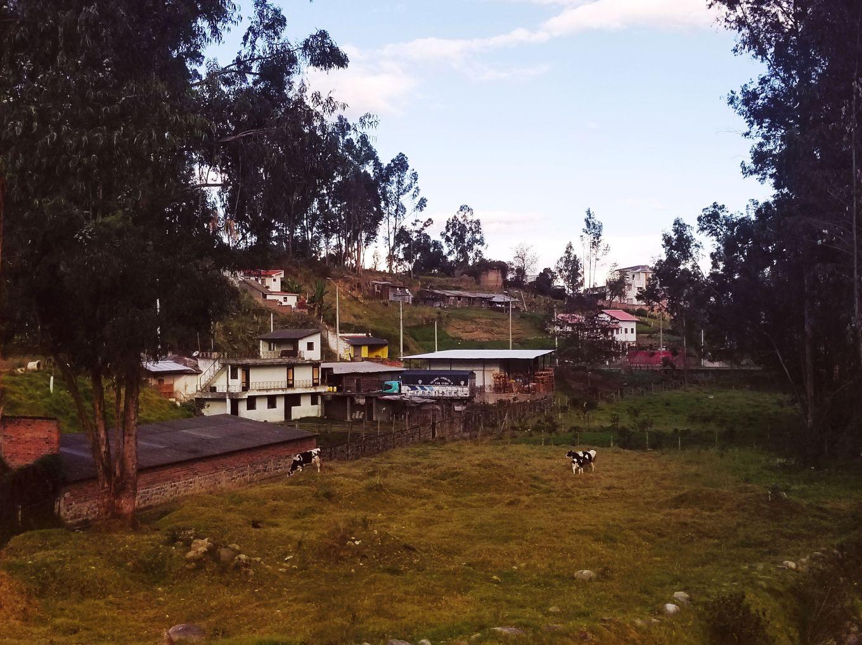 Pastoral Cows, Cuenca, Ecuador