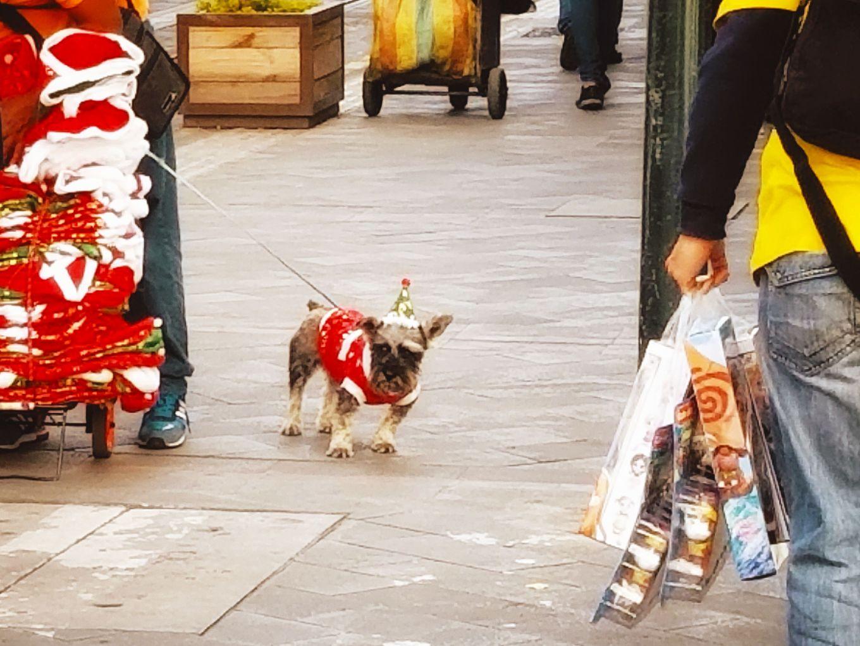 Morose pup in ugly Christmas sweater, Cuenca, Ecuador
